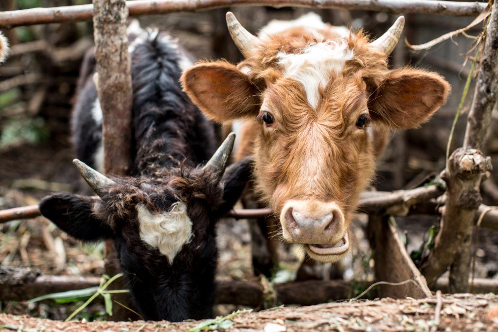 Kenya cows