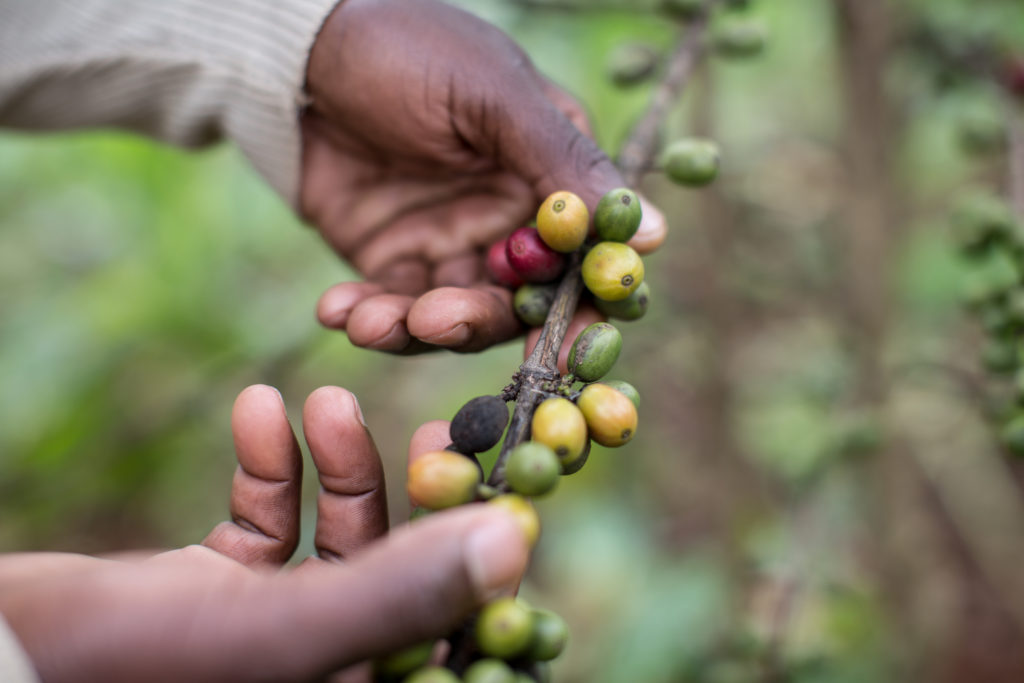 Coffee beans from Zoe Empowers farm
