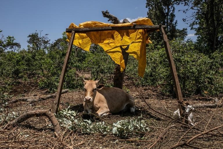 Fridah's cow